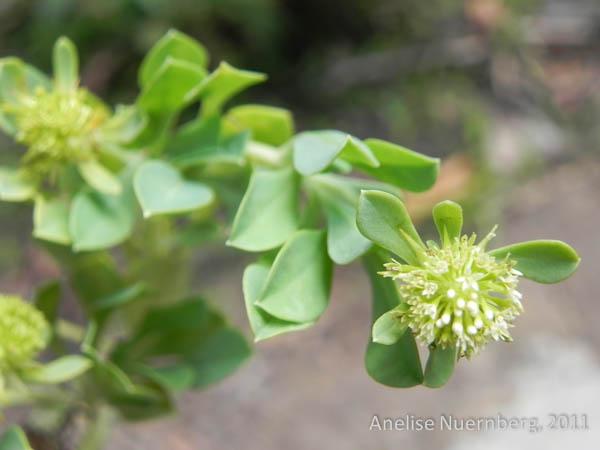 acicarpha-spathulata-7